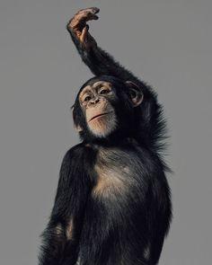 Little Orangutan print on canvas Primates, Mammals, Cute Baby Animals, Animals And Pets, Funny Animals, Beautiful Creatures, Animals Beautiful, Fluffy Cows, Monkey Art