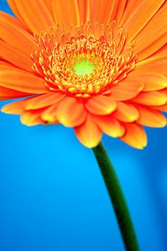 Image detail for -Orange Gerber by BritishBeef All Things Orange | Color Photography ... Orange Flowers, Orange Color, Love Flowers, Beautiful Flowers, Daisy Flowers, Sunflowers, Aqua Blue, Dark Blue, My Favorite Color