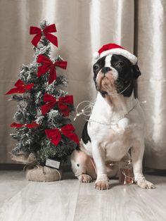 Pied French Bulldog, Boston Terrier, Christmas Tree, Holiday Decor, Dogs, Animals, Teal Christmas Tree, French Bulldog, Boston Terriers