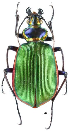 Calosoma (Calosoma) scrutator Fabricius, 1775 Beetle Insect, Beetle Bug, Insect Art, Beautiful Bugs, Beautiful Butterflies, Insect Orders, Creepy Animals, Cool Bugs, Hans Christian