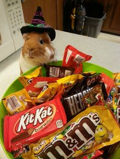 """REPORT: Guinea Pig Had the Best Halloween Party Ever byScott Friedstein, FluffPo Correspondent Lester the guinea pig has always taken his Halloween celebrations seriously. This year, however, he may have outdone himself.  As per usual, Lester planned his festivities weeks in advance. His costume had been meticulously crafted, and the decorations painstakingly hung.  """"Halloween isn't just a holiday for him,"""" says friend Jeff Scheer. """"It's something else entirely. This year, he ..."""