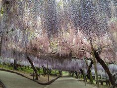 Fairytale walkway. Wisteria Tunnel at Kawachi Fuji Gardens. Kitakyushu, Japan.