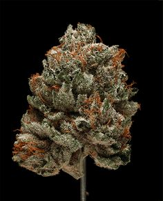 8 Mesmerizing GIFs of Weed Like You've Never Seen Before — Florida Cannabis Coalition Buy Cannabis Online, Buy Weed Online, Weed Bong, Cbd Oil For Sale, Cannabis Oil, Hemp Oil, Medical Marijuana, Herbs, Stuff To Buy