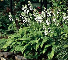This fine variety bears sweetly scented white flowers of 30-40″ stems in August and September above cool, pale green foliage. An excellent cut flower.