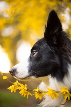 Spring Border Collie by Gallia Painter Mackinnon on 500px