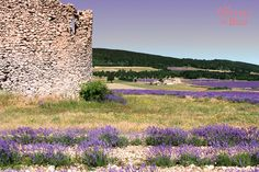 An explosion of color, fragrance, and savors…Come discover true lavender in these images of our flowering lavender fields. Lavender Fields, Champs, Outdoor Decor, Image, Lavender, Woodwind Instrument, Flowers