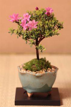 雲仙米ツツジ(うんぜんこめつつじ)のミニ盆栽 信楽焼 プレゼントにも盆栽