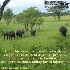 #EleFunFactFriday! An elephant's inefficient digestive process helps facilitate seed germination & forest migration