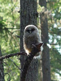 spotted-owl-strix-occidentalis-spud-backlit-perched-on-tree-branch-fuzzy-white-feathers-fluffy-plumage-face-front-eyes-beak-green-forest-lea...