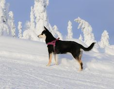 Winter wonderland - Levi, Lapland. Lapinporokoira, lapponian herder, koira, dog, Laponie, Lappland Lappland, Doge, Winter Wonderland, Boston Terrier, Husky, Tattoo, Animals, Boston Terriers, Animales