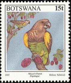 Meyer's Parrot (Poicephalus meyeri)