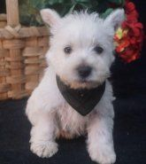 A list of Westie puppies for sale!