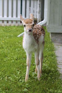 Meet Caesar, a fallow deer here at Cedar Meadows Resort & Spa.