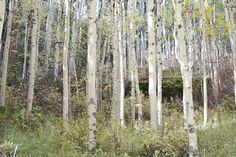Colorado Aspen Trees Photography Print by WildWildernessPhotos