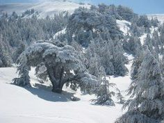 LEBANON, CEDARS UNDER HEAVY SNOW