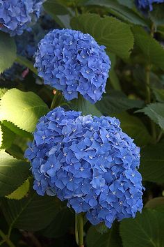 Hydrangeas - several of the most beautiful types- pretty for a wedding bouquet