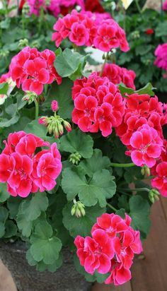 "Geranium ""Calliope Crimson Flame"" the new Darlene Geranium given summer of 2017 after trip to Darlene's  Cabin. Purchased on the way to her cabin."