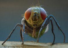Uma mosca varejeira.