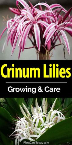 """Lear to grow Crinum lily bulbs - the large, heat, moisture loving plants, with exotic, """"bell shaped"""" showy flowers. Tips On Crinum Lilies Care [LEARN MORE] Garden Bulbs, Garden Plants, Flowering Plants, Growing Flowers, Planting Flowers, Flower Gardening, When To Plant Roses, Lilly Plants, Lily Care"""