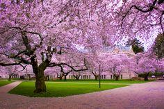 cherry blossom tree - Buscar con Google
