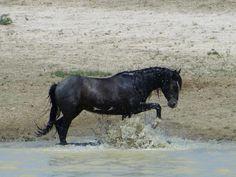 Horse Water, Wild Mustangs, Wild Hearts, Wild Horses, Zebras, Beautiful Horses, Pony, Colorado, Running