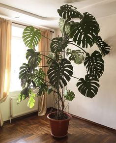 [New] The 10 Best Art Today (with Pictures) - monstera via Inside Plants, Room With Plants, House Plants Decor, Plant Decor, Monstera Deliciosa, Philodendron Monstera, Potted Plants, Garden Plants, Indoor Plants