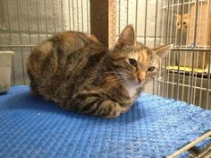 URGENT!!~~~Meet a287 Colorful Cat a Petfinder adoptable Calico Cat   Griffin, GA   estimated 11 mos old. stray - available for adoption 4/10Spalding County Animal Shelter, 208...Click on pic for additional information about this furry baby♥♥♥