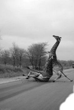 ¿Por qué cuando es una pobre gorda la que resbala en el Metro nos reímos, y en cambio estas jirafas nos inspiran tanta lástima?
