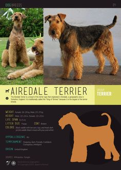 Dogs101 Airedale Terrier