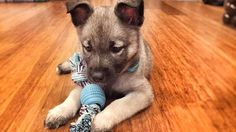 #throwback to our first days with Lennox 2.17.16  #ourdoglennox#puppy # # #norwegianelkhound #norwegianelkhoundpuppy #norwegianelkhoundsofinstagram #puppiesofinstagram #purebreed