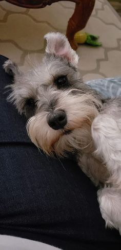 Cutest Small Dog Breeds, Cute Small Dogs, Cute Dogs Breeds, Baby Puppies, Baby Dogs, Cute Puppies, Dogs And Puppies, Doggies, Miniature Schnauzer Puppies