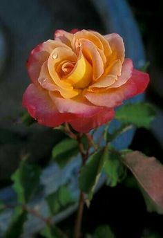 Yellow red Rose - never seen one of these before with 2 colors in one rose. Also the am ombré effect.