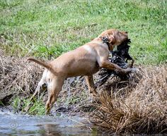 #lab #retriever #dog training #pet #photography #duck #hunting Duck Hunting, Retriever Dog, Pet Photography, Dog Training, Lab, Pets, Animals, Design, Animaux