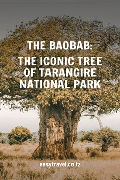 The Baobab, these majestic giants stand tall over the comings and goings in the Tarangire National Park. They are a marvel outliving generations to reach ages of Just one small fact about these iconic landmarks. Here are more awe inspiring facts 👀👇 Baobab Tree, Tanzania Safari, Stand Tall, Africa Travel, Beautiful Places, National Parks, Marvel, Facts, Aim High
