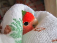 lovebird-papinen: I LOVE my blanket - Baby Animals Are Life. Cute Animal Memes, Cute Funny Animals, Cute Baby Animals, Animals And Pets, Funny Birds, Cute Birds, Beautiful Birds, Animals Beautiful, Budgies
