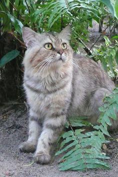 handsome meow meow @ koh samui