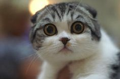 Why would they make cats this cute! It is so cute it hurts me!