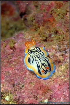 Hypselodoris maritima  #nudibranch blue orange white teal