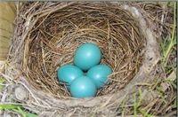 American Robin. Image from: Birds of Arkansas - Audubon Arkansas & Arkansas Game and Fish Commission