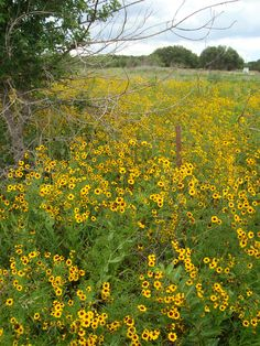 90 best west texas wildflowers images on pinterest wild flowers texas wild flowers near strawn tx my dad was born in a house mightylinksfo