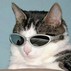 """spiirt: """"Some cats in some funky sunglasses """" I Love Cats, Crazy Cats, Cool Cats, Animals And Pets, Funny Animals, Cute Animals, Cat Wearing Glasses, Gatos Cool, Cat Sunglasses"""