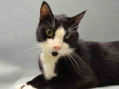 **TO BE DESTROYED 01/03/16** Gentle RILEY is a neutered boy who was adopted from the ACC some years ago. Whoever walked out of the shelter with him in days gone by, walked back IN to the shelter with him on 12/30/15 when they should have taken him to a vet. Riley didn't get to ring in the New Year with the people he loves the most, and tonight, he needs someone new to love. The shelter will potentially have RILEY be the first cat to die tomorrow, unless a FOSTER or ADOPTER is found for him…