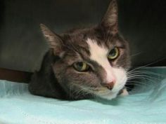 *** UNKNOWN 12/08/16 ***  ANOTHER CHANCE FOR TYSON - 10 YR OLD DECLAWED KITTY IS SHY BUT AFFECTIONATE AND WOULD LOVE TO BE HOME FOR THE HOLIDAYS!!