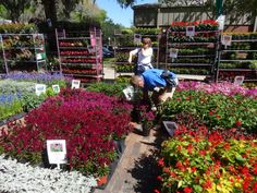 Celosia, Salvia and Dusty Miller at the Knox Nursery booth