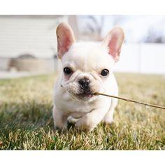 """I got a stick!"", Leo, the adorable French Bulldog Puppy❤ #frenchieleo"