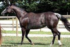 Rabicano horses | WHITE PATTERNS, such as roan, gray, sabino, rabicano, etc.