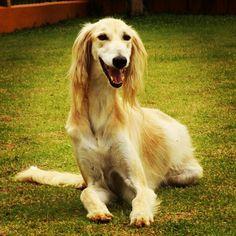 Salatino's Saluki, Thor.    #salatino #clubesalatino #canil #love #nature #instagood #Saluki #Dog #pets #cute #dogs #lovepets