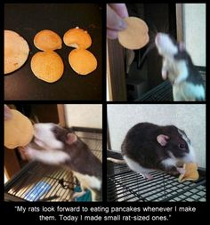Funny pictures about Tiny Rat-Sized Pancakes. Oh, and cool pics about Tiny Rat-Sized Pancakes. Also, Tiny Rat-Sized Pancakes photos. Funny Rats, Cute Rats, Funny Hamsters, Animals And Pets, Funny Animals, Cute Animals, Strange Animals, Animal Fun, Rats Mignon