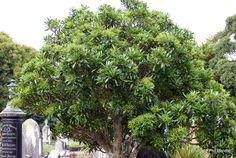Pseudopanax lessonii, Houpapa, small coastal plant, H 4 m x W 2m