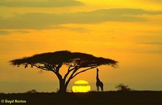 Giraffe, tree and sunset in Africa. Gorgeous silhouette shot.